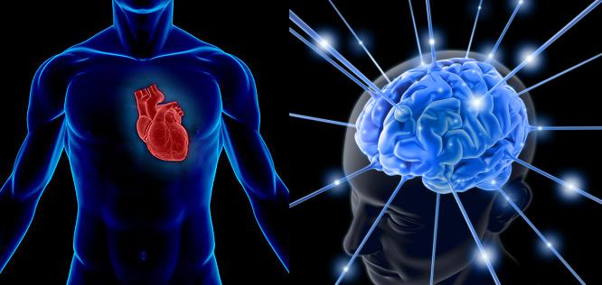 cerebro del corazon